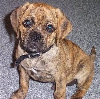 Close up - A brindle Puggle puppy is sitting on a carpet and it is looking up. The pup has round eyes.