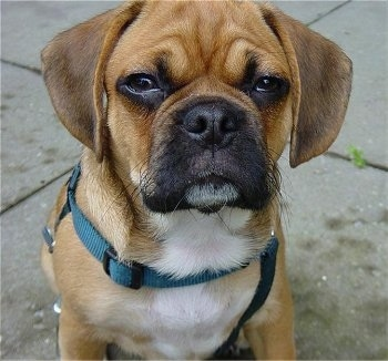Close up head and upper body shot - A tan with white Puggle puppy is sitting on a concrete surface. It is looking up and forward. It is squinting.