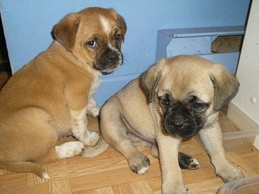 A fawn Puggle puppy and a tan Puggle puppy are sitting on a hardwood floor in front of a blue wall looking to the left.