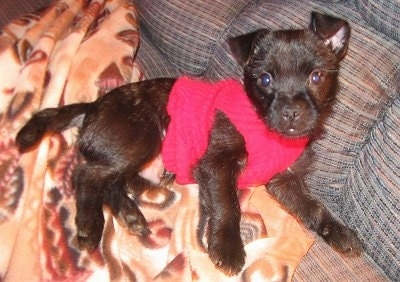 Side view - A rose-eared, black Pugland is wearing a red shirt laying on its left side on a brown blanket on top of a blue couch. It is looking up and forward.