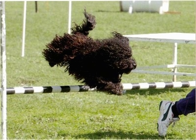 Miles, the Puli performing agility