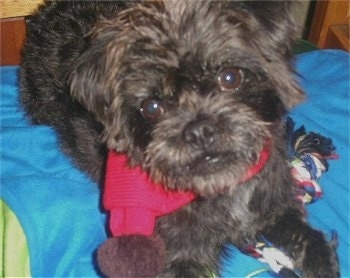 Close up front view - A scruffy looking black with brown Pushon dog wearing a red scarf laying on a bed that is covered with a blue blanket. There is a rope toy under the dog.