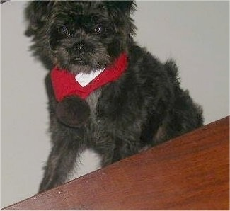 Close up front view - A scruffy looking, black with brown Pushon dog is wearing a red scarf sitting on a carpet in front of a wooden table.