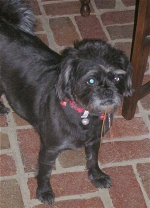 Front side view - The upper half of a scruffy-looking, black with white Pushon dog standing on a red brick surface next to a wooden table.