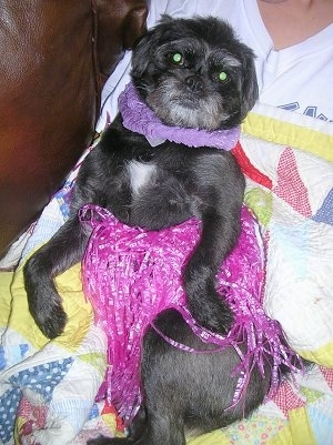 A black with white Pushon dog is wearing a pink hula skirt laying belly-out against a person's chest.