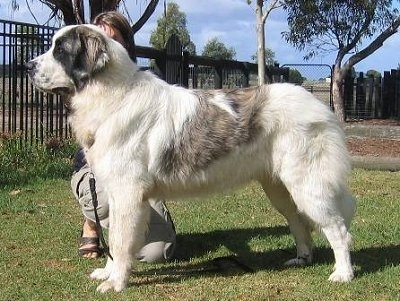 Left Profile - A very large white with grey Pyrenean Mastiff dog that is standing on grass and there is a person kneeling behind it.