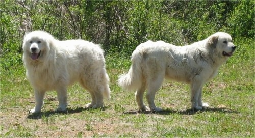 Two Great Pyrenees are standing back to back in grass with a line of trees behind them.