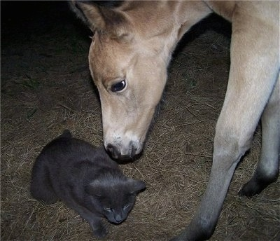Close up - A tan with white Quarter Horse colt ais sniffing the back of a gray barn cat.