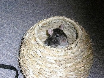 A black and white fancy rat is standing in a wicker ball basket.