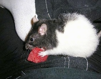 Angelina, the Fancy Rat at about 1 ½ years old enjoying a strawberry