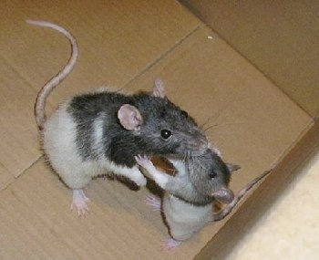 Fancy Rats - Angelina at about 1 ½ years old with Ziggy at a few months old