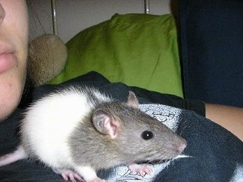 Close up - A grey and white fancy rat is laying across a persons chest. It is looking to the right.