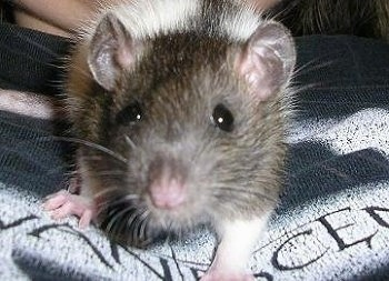 Close up front view - A grey and white fancy rat is laying on a persons chest.