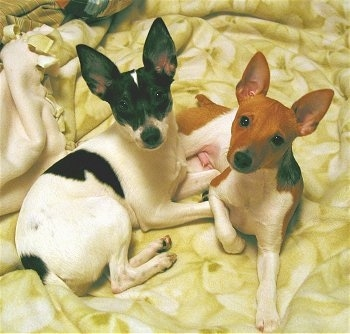 Two dogs laying on top of a yellow blanket on a humans bed looking up at the camera. A white with black Rat Terrier is laying next to a white with red Rat Terrier. Both dogs have large perk ears and docked short tails.