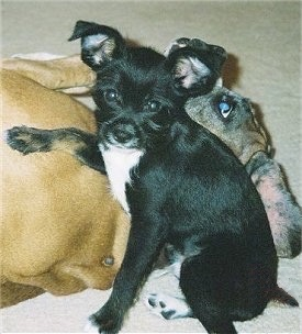 A black with white Rattle Griffon puppy is sitting on a carpet and looking forward. It has its left front paw on the back of a tan Boxer dog that is laying behind it. Its ears are up but folded over at the tips.