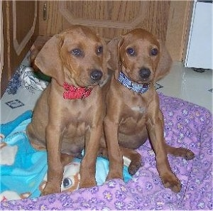 Redbone Coonhound pupp...
