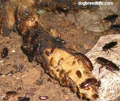 Oriental Roaches all over a log and a rock