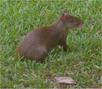 The back right side of a brown Agouti that is sitting on grass. It has a face like a rat and a long brown body.