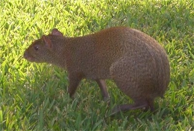 The side view of a agouti walking on grass. It has a body that looks like a rat.