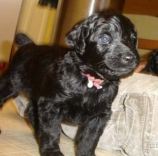 Close up front side view - A black Rottle puppy is standing on a tiled floor and it is looking to the right.