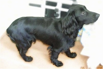 The right side of a shiny-coated, black Russian Spaniel that is standing on a rug and it is looking up and to the right.
