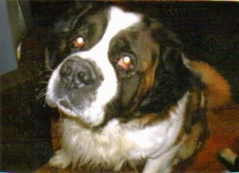 Close up head shot - A brown with white and black Saint Bernard is sitting on a couch and it is looking up. Its head is slightly tilted to the right.