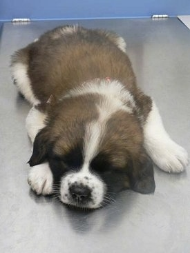 Front view - A brown with white and black Saint Bernard puppy is sleeping on a metal table.