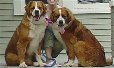 Henry and Soda, St. Bernard / Bernese Mountain Dog hybrids (Saint Berners) full grown