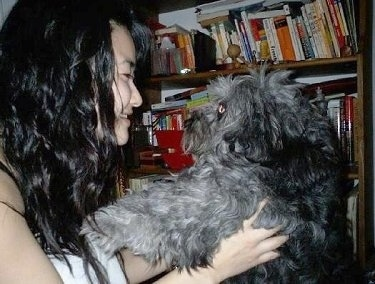A fluffy, thick, wavy-coated grey with black and white Schapso dog is being held in the air by a person. They are looking at each other face to face.