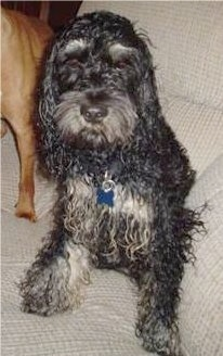 Front view - A wet, wavy-coated, black with white Schnocker dog is sitting on a couch next to another dog.