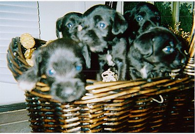 A litter of small black with white Schnocker puppies inside of a brown wicker basket.