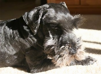 The front right side of a black with tan Schnoodle that is laying down on a carpet. It is looking down and forward. Its coat is shaved short with longer hair on its face and eye brows.