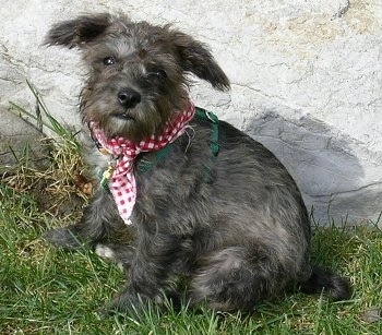 The left side of a black and grey Schnoodle dog that is sitting in grass and in front of a stone wall. It is wearing a red and white bandana and it is looking forward. Its ears have lots of hair on them and stick out to the sides.