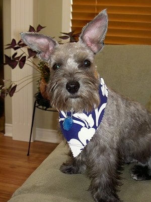 Front side view - a tan with black Miniature Schnoodle is sitting on a couch and it is looking forward. It is wearing a blue and white bandana. Its coat is shaved with longer hair on its snout and it has very large perk ears. Its nose is black.