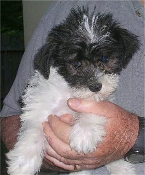 Front view - A black and white Schnoodle puppy is being held under a persons arm. The puppy is looking down. It has a white body and black on its head.