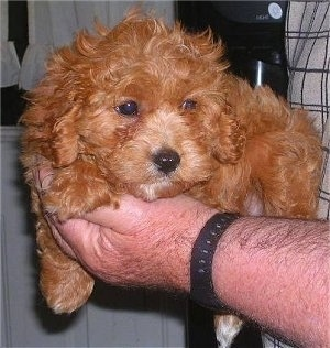 Close up front view - A wavy-coated, red with white Schnoodle puppy is laying in the hand of a person.