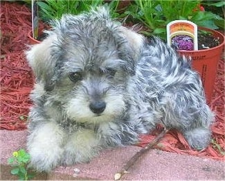 Schnoodle Puppies on Am Thinking About Getting A Dog  What Is Your Favorite Breed Of Dog