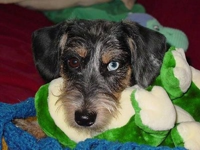 Close up head shot - A wiry-looking Miniature Schnoxie dog is laying on a blue blanket and on top of a green flush frog. The dog has one brown eye and one blue eye.