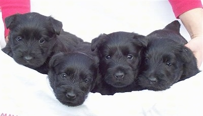 A litter of black Scottish Terriers are laying in a white towel that a person is holding. The puppies eyes are open.