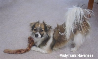 A brown and white with black short-haired Havanese is play bowing on a tan carpet with a plush snake toy.