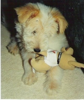Front view - A fluffy blonde Sheltidoodle puppy is laying on a carpet and it is chewing on a plush dog doll.