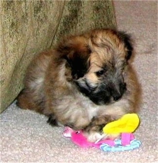 A soft coated, brown with black Sheltidoodle puppy is laying on a carpet and it is looking down at a toy in front of it.