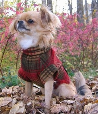 A tan with white ShiChi dog is wearing a plaid jacket, it is sitting on a floor covered in leaves, it is looking up and to the left. It has long fringe hair on its ears and neck.