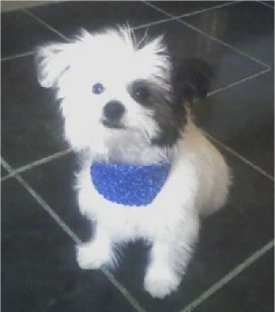 Close up - A white with black ShiChi puppy is wearing a blue bandana, it is sitting on a black tiled floor, it is looking up and to the left.