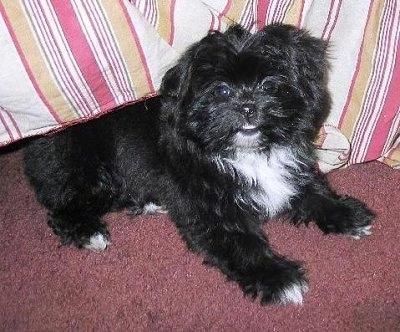 Shiranian puppy (Pomeranian / Shih Tzu hybrid), photo courtesy of