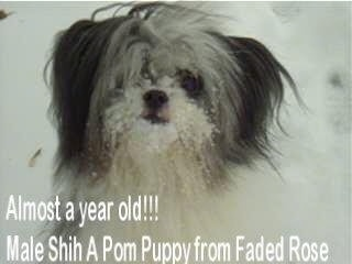 Close up - A long coated, white with black Shiranian dog is standing outside in snow, it is looking forward and it has snow all over its muzzle. The words - Almost a year old!!! Male Shih A Pom Pom Puppy from Faded Rose - are overlayed at the bottom left of the image.