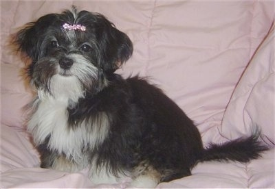 The left side of a longhaired black with white and tan Shih Apso dog that has a pink ribbon in its hair. It is looking forward.