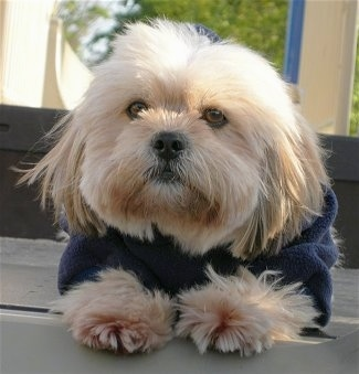 Close up front view - A long, thick coated, tan with white Shih Apso dog is wearing a blue jacket looking forward and it is laying on a wooden step outside. The dog has wide, round, brown eyes and a black nose.