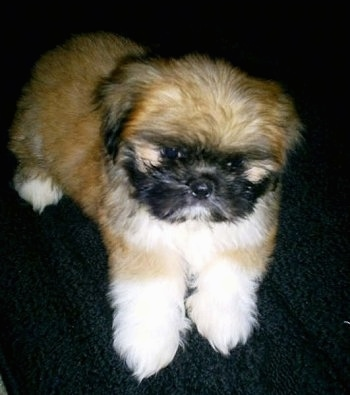 A soft looking, fluffy brown with white and black Shinese puppy is laying on a black cloth and it is looking forward.