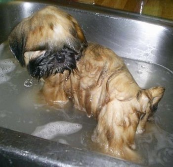 A drenched brown with black Shinese puppy is standing in a sink that is half filled with water.